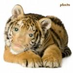 """Hacer fotomontaje gratis en el rostro de un animal """"tigre"""""""