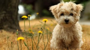 havanese_silk_dog-HD