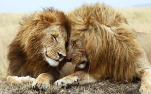lions_pair-wide