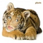 Realiza el mejor montaje con tu rostro en un tigre