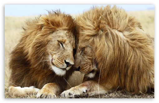 two_male_lions-t2